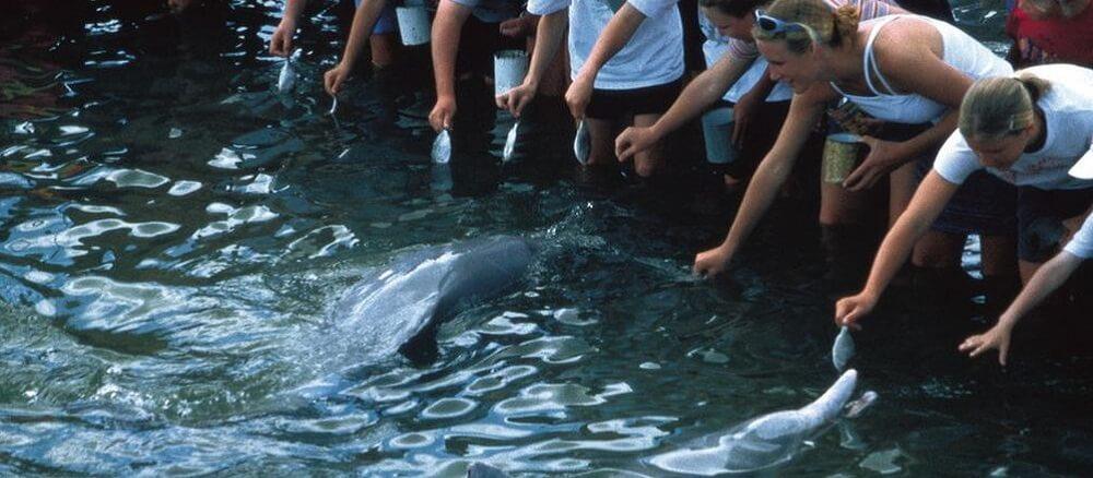 Dolphin Feeding at Tin Can Bay